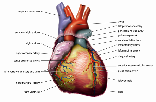 The human heart has four chambers  two superior atria and two inferior    Visceral Pericardium